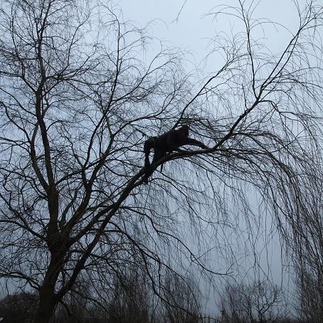 albums/- snoei Salix elegantissima/treurwilg5.jpg: tree-dboomverzorging.nl/photos/?dir=- snoei Salix elegantissima